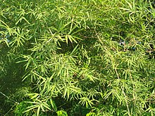 Bamboo leaves1.JPG