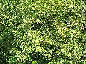 Dendrocalamus strictus - Image: Bamboo leaves 1
