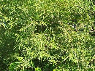 <i>Dendrocalamus strictus</i> species of plant