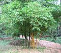 Bamboo yellow small.jpg