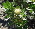 Banksia sessilis var. cygnorum-4.jpg