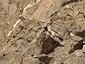 Barbary Falcon (Falco pelegrinoides) (47421706291).jpg