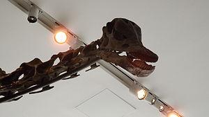 Gordo (dinosaur) - Image: Barosaurus, Royal Ontario Museum, head
