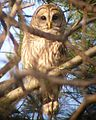 Barred.Owl.Yard.3.20121206.jpg