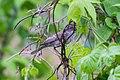 Barred Warbler (Sylvia nisoria) (14363757251).jpg