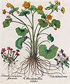 Basilius Besler-Caltha palustris flore.jpg