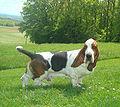 Basset-hound tricolore.jpg