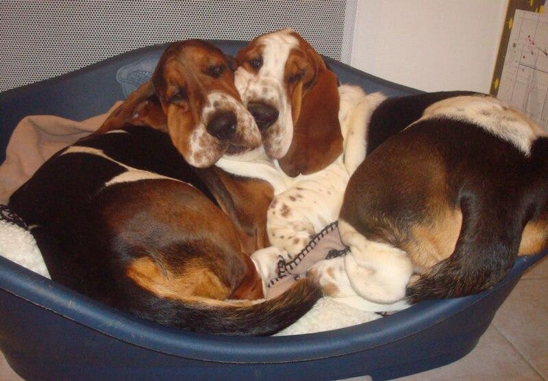 File:Bassets hound , basset-hound.jpg