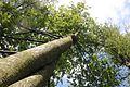 Baumkrone im Teutoburger Wald.jpg