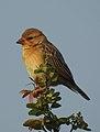 Baya Weaver Ploceus philippinus by Dr. Raju Kasambe DSCN0233 (18).jpg