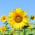Beautiful Sunflower.jpg