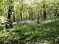 Beckney Wood - Bluebells - geograph.org.uk - 160903.jpg