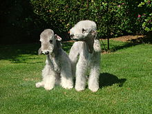 Bedlington terrier.jpeg
