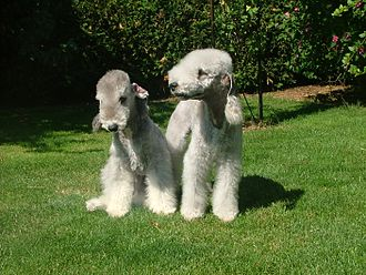 Bedlington Terrier - Bedlington Terrier puppies are dark in color, but as they age their fur lightens.