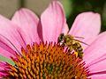 Bee on Echinacea.jpg