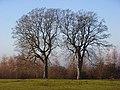 Beeches, Ewelme Park - geograph.org.uk - 1082206.jpg