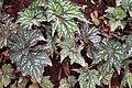 Begonia rex 3zz.jpg