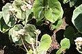 Begonia venosa 3zz.jpg