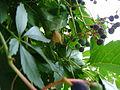 Bellissima (Araneus diadematus) hiding 2.JPG