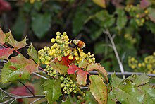Mahonia aquifolium wikipedia the yellow flowers are in a raceme 38 cm long bombus species and other insects pollinate the flowers mightylinksfo