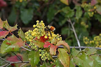 Mahonia aquifolium - The yellow flowers are in a raceme 3–8 cm long. Bombus species and other insects pollinate the flowers.
