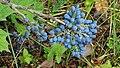 Berberis aquifolium iNaturalist observation 28882962.jpg