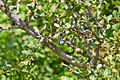 Berberis microphylla-CTJ-IMG 7211.jpg