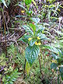 Besleria lutea-La Soufrière-Guadeloupe 1.JPG