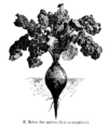 Betterave Reine des noires Vilmorin-Andrieux 1904.png