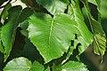 Betula maximowicziana (monarch birch) 5 (25786612338).jpg