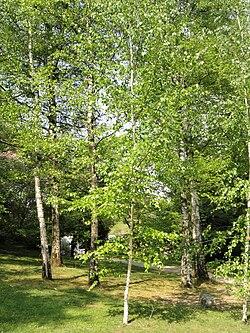 Betula szechuanica - Villa Carlotta (Tremezzo) - DSC02324.JPG