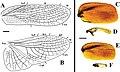 Beybienkonus acuticercus (10.3897-zookeys.867.35991) Figure 9.jpg