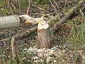 Biber Baumfällung.jpg