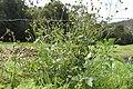 Bidens pilosa plant9 (14975779970).jpg