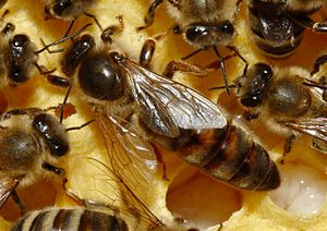 Polyandry in nature - The queen bee is usually the only female bee within a hive reproducing with drones, which often come from various hives. She mothers most or all offspring within a given hive.