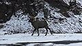 Big Horn Sheep - Shoshone National Forest Dec 8 2017.jpg