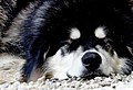 Big dog.Skagway.Alaska. (12302140213).jpg