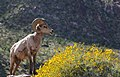 Bighorn sheep at Anza Borrego State Park, CA (33468046781).jpg