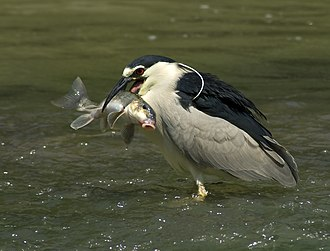 Euteleostomi - A black-crowned night heron and a sucker, both members of Euteleostomi