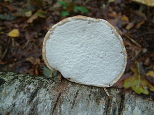 Fomitopsis betulina - Image: Birch Bracket Underside