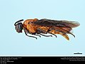 Birch Sawfly (Argidae, Arge pectoralis (Leach)) (36590254602).jpg