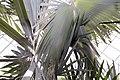 Bismarckia nobilis 18zz.jpg