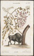 Bison americanus - 1700-1880 - Print - Iconographia Zoologica - Special Collections University of Amsterdam - UBA01 IZ21200239.tif
