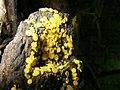 Bisporella citrina - Reisigbecherchen Zitronengelbes (1).jpg