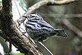 Black-and-white Warbler (male) Sabine Woods TX 2018-04-22 08-36-13 (40185364200).jpg