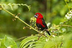 Black-bellied Seedcracker - near Kakum NP - Ghana 14 S4E2847.jpg