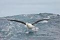 Black-browed Albatross (25882245292).jpg