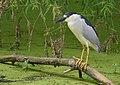 Black-crowned Night-Heron (33344437305).jpg