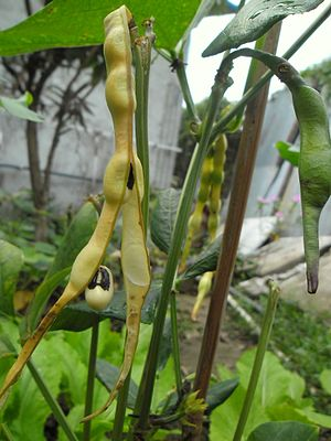 Cowpea - A cowpea plant with some pods ready for harvest