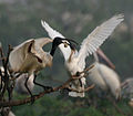 Black-headed Ibis (Threskiornis melanocephalus)- juvenile extracting food from adult W IMG 3348.jpg
